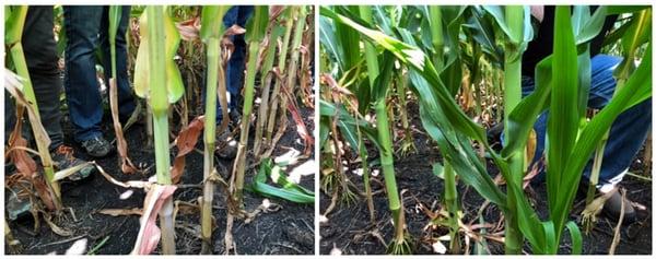 Product_N_Deficient_Corn_vs_PB_Corn_800