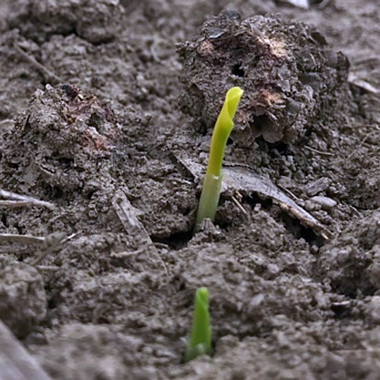 Emerging_In_Soil_555