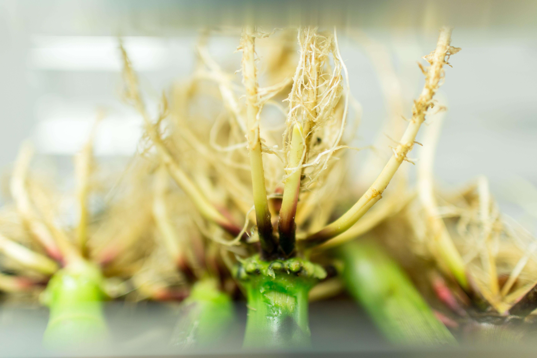 Healthy corn roots